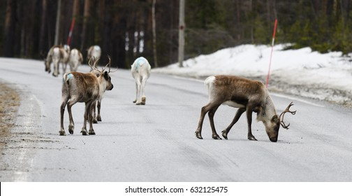 Reindeer crossing a road in its natural environment in the north of Sweden