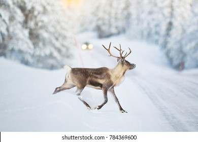 Reindeer crossing a winter road, cars headlights visible in the distance. Sweden