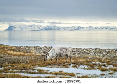 Reindeer eating grass infront of the sea and mountains in slow in Svalbard, Arctic