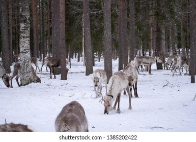 Reindeer farm in Finland in winter
