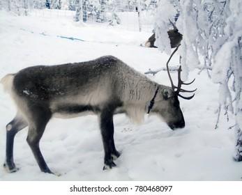 Reindeer in Finland snow background