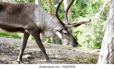 Reindeer in a forest