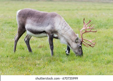 Reindeer grazing in a field in Finnish Lapland