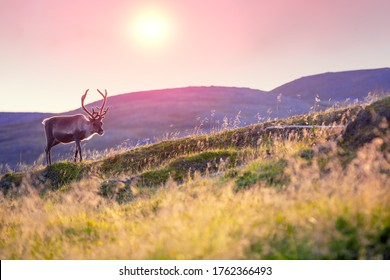 Reindeer grazing in a meadow in Lapland  during sunset