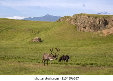 A reindeer grazing in a meadow in the south east of Iceland. There are also free reindeer on Iceland. The reindeer, also known as caribou in North America, is a species of deer .