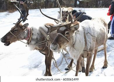 Reindeer in harness.