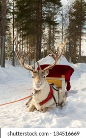 reindeer, harnessed to a sled