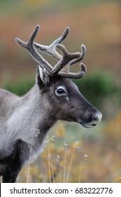Reindeer head portrait in autumm, flatruet, sweden, (rangifer tarandus)