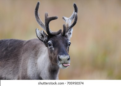 Reindeer head portrait with tongue, flatruet, sweden, (rangifer tarandus)