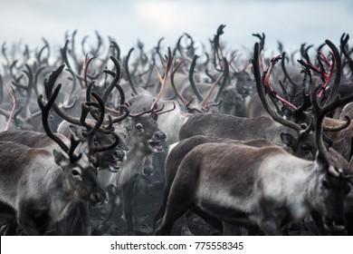 Reindeer herd collected at Jotunheimen National park in Norway