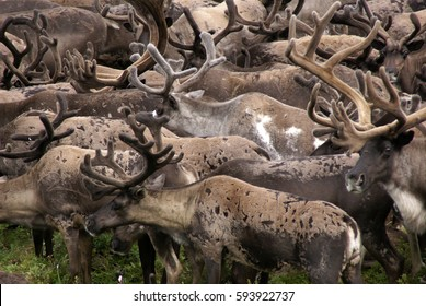 reindeer herd in Kamchatka