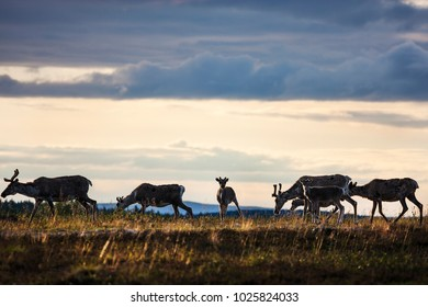 Reindeer herd seen in Saariselkä, Finnish Lapland, at dusk in summertime