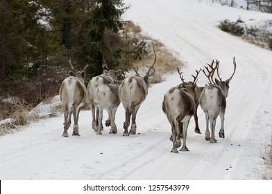 Reindeer herd walking on a forest road in Finnland