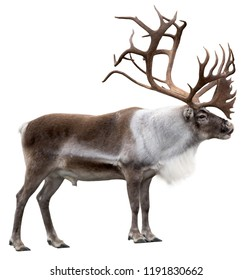 Reindeer with huge antlers  isolated on the white background - side view