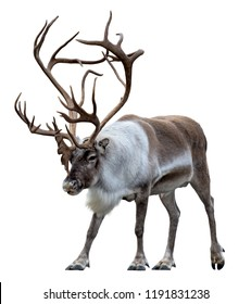 Reindeer with huge antlers  isolated on the white background - front view