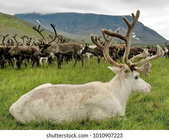 The reindeer (in North America - caribou, Lat. Rangifer tarandus). The reindeer in the distant past has enabled man to master the North