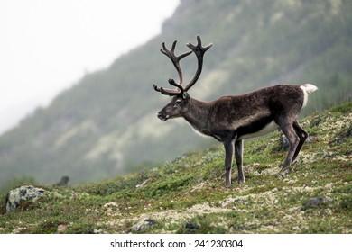 Reindeer in Jotunheimen, Norway