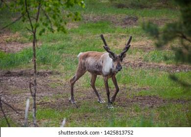 Reindeer in the kerzhenskiy state nature reserve, Nizhny Novgorod oblast, Russia