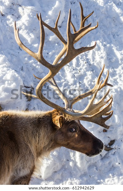 what are reindeer also known as