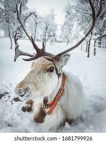 Reindeer in lapland during winter  - Shutterstock ID 1681799926