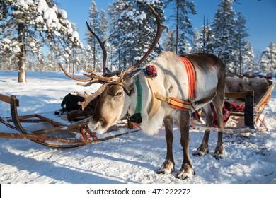 Reindeer in Lapland, Finland.
