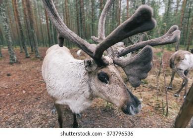 Reindeer in Lapland in the summer