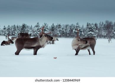 reindeer looking for love, animal relationships