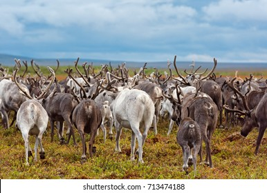 Reindeer migrate for a best grazing in the tundra nearby of polar circle. Yamal peninsula, Siberia.