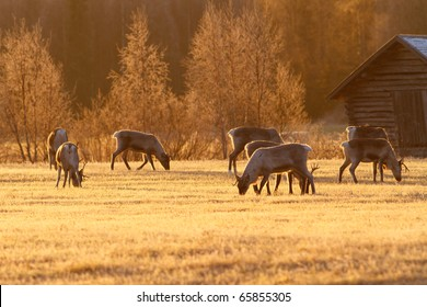 reindeer in morning glow