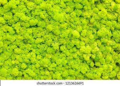 Reindeer moss wall, green wall decoration made of reindeer lichen. Green moss texture. seamless close up green moss texture