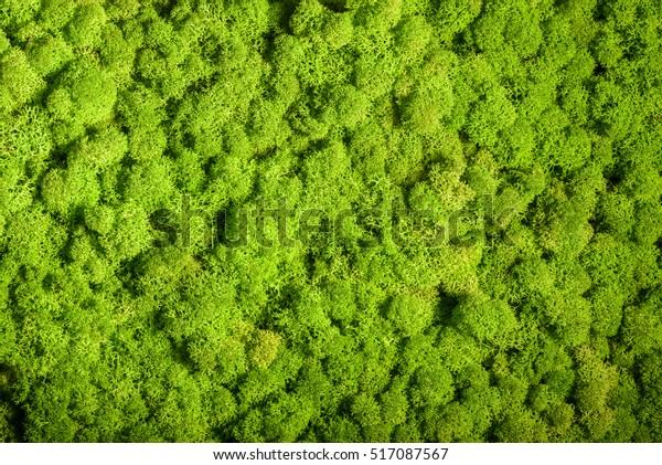 Rentiermooswand, grüne Wanddekoration aus Rentieren Flechten Cladonia rangiferina, wiedergefärbt nach Pantone 15-0343c, Farbe des Jahres 2017, einzeln auf Weiß, geeignet für Innenhöfe