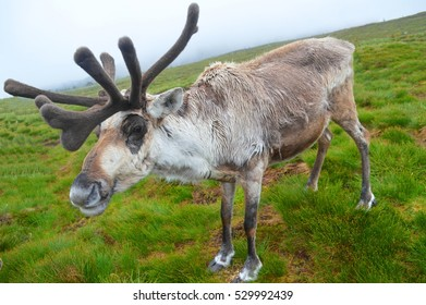 Reindeer in Moult