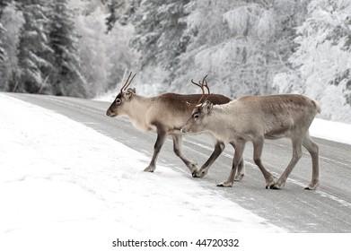 reindeer in its natural environment in scandinavia