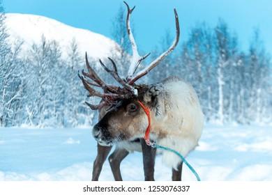 reindeer in its natural environment in scandinavia .Tromso Lapland