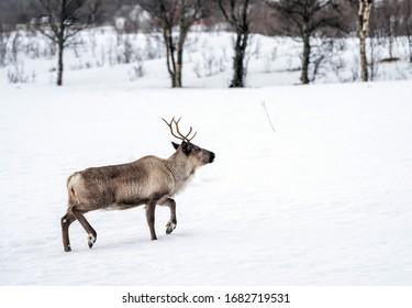 reindeer in its natural environment in scandinavia .Tromso