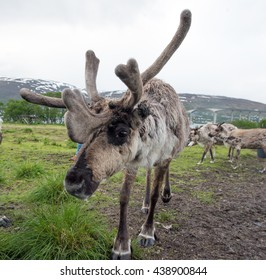 reindeer in its natural environment in scandinavia ,Tromso