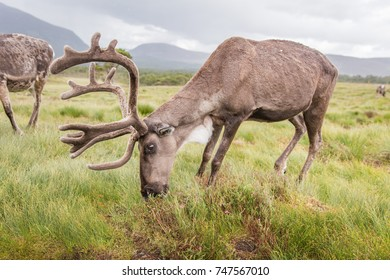 Reindeer in nature