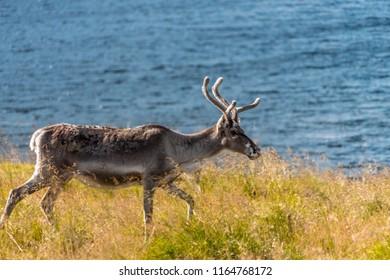 Reindeer near Nordkapp, Finnmark, Norway