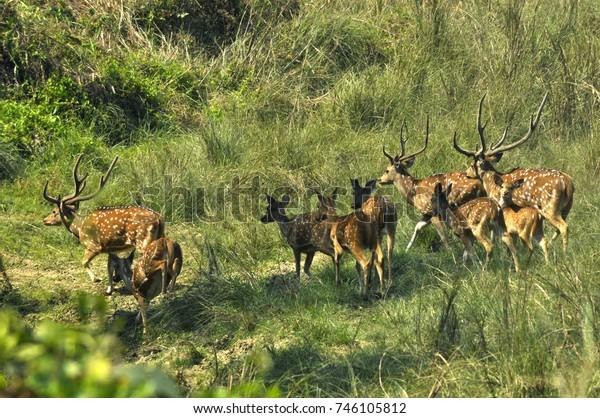 Reindeer Nepal National Park Chitwan Herd Stock Photo (Edit Now