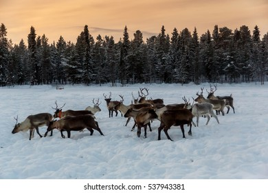 Reindeer in northern Finland Lapland