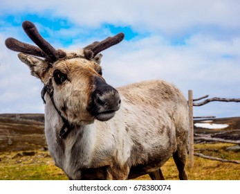 Reindeer in the northern wilds near the North Cape
