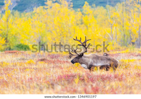 a reindeer on the background of the crimson tuna in summer