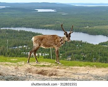 Reindeer on background of picturesque hills
