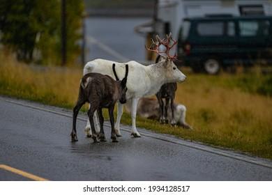 reindeer on big road in autumn in scandinavia