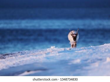 Reindeer on the coast