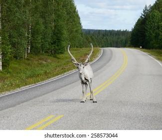 Reindeer on road. Lapland, Northern Finland