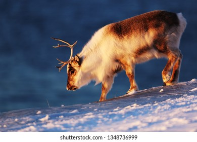 Reindeer on Svalbard