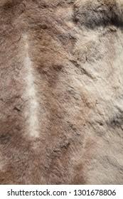 Reindeer pelt close-up texture background