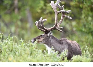 Reindeer portrait with big antlers