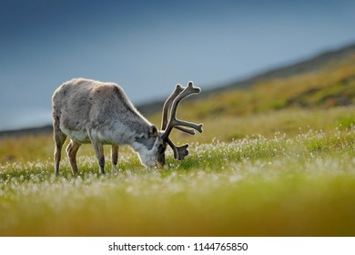 Reindeer, Rangifer tarandus, with massive antlers in the green grass and blue grey sky, Svalbard, Norway. Wildlife scene from north of Europe. Wild animal from Norway. Mammal feeding flower on meadow.